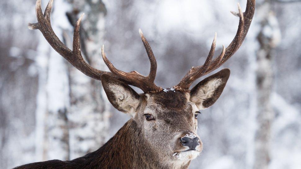 Japanese Domino's customers get pies by reindeer