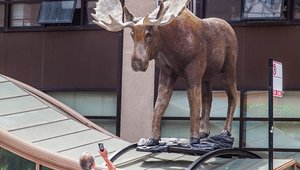 Bison, moose and bears, oh my: Hybrid campaign takes the big sky to the big city
