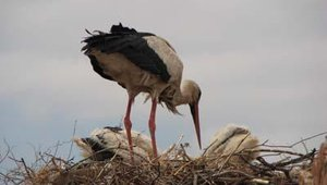 Storks are common throughout Marrakech.