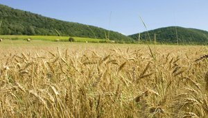 Wheat prices spike as gas falls