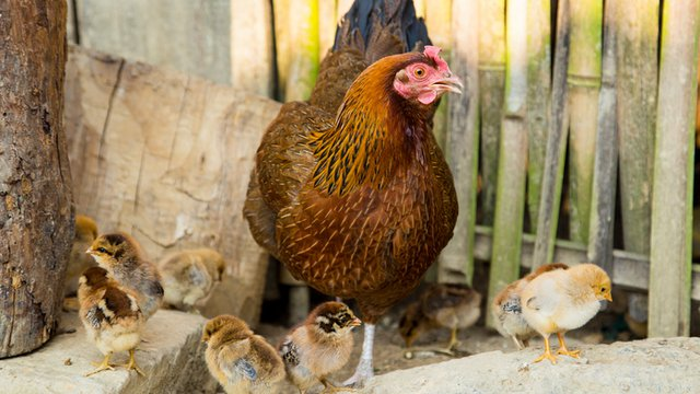 Pret a Manger 1st US chain to issue humane commitment for chickens