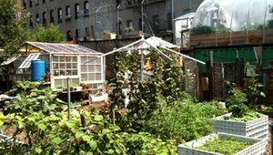 Roberta's Pizzeria in Brookyln has a garden in its backyard that grows 20 percent of the restaurant's produce. Fig and Apple trees also grow in the yard.